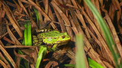 Frog Sitting In Rushes 2 Stock Footage