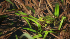 Frog Sitting In Rushes 3 - stock footage
