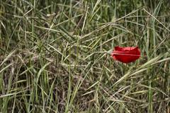 Lone red poppy on green weeds field Stock Photos