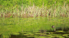 Duck Floats On Lake Stock Footage