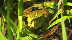 Frog Sitting In Rushes 5 - stock footage