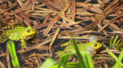 Frogs On Lake In Mating Season 2 Stock Footage
