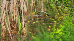 Frogs On Lake In Mating Season 4 Stock Footage