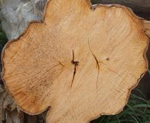 Cut rowan tree. White wood with annual rings and cracks, gray brown bark around. Stock Photos