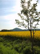 Rowen tree, stalk of rape in the spring yellow field of blooming rapes - stock photo