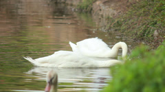 Two white swans on a pond 1 Stock Footage