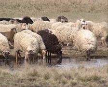 Flock of Drenthe heath sheep with lambs run along fen in moorland + drink water Stock Footage