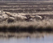 Flock of Drenthe heath sheep with lambs run along fen in moorland +  reflection - stock footage