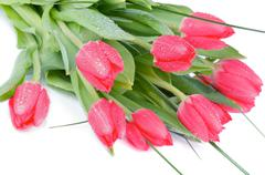 magenta tulips - stock photo