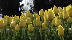 Close up of beautiful yellow tulips at garden  Stock Footage