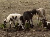 Stock Video Footage of Drenthe heath sheep lambs playful, practice horn clashing.