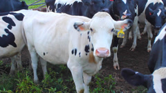 Dairy Cows Stock Footage