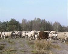 Flock of Kempen Heath Sheep run in moorland - on camera Stock Footage