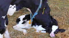 Mother Cow with Calf After Birth Stock Footage