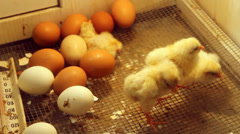Baby Chicks Stock Footage