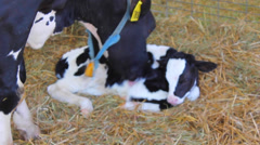 Mother Cow with Baby After Birth - stock footage
