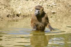 Guinea baboon in water Stock Photos