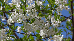 4K   White flowers on blossoming cherry tree  on a sunny spring day. Stock Footage