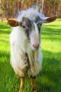 Funny goat Stock Photos