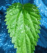 Mint leaf Stock Photos