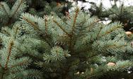 Stock Photo of branch of blue spruce