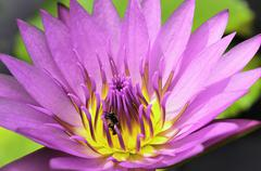 Pink-purple lotus with yellow-pink pollen and bug - stock photo