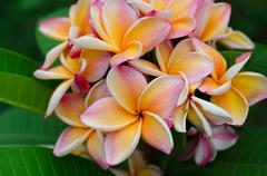 frangipani with leaves in background - stock photo