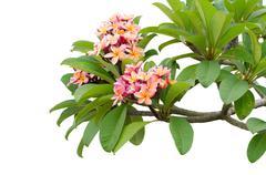 Pink frangipani on tree Stock Photos