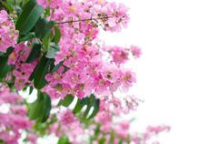 Lagerstroemia macrocarpa isolated on whitw background Stock Photos
