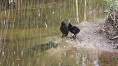 Two black nestlings Stock Footage