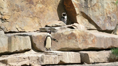 Penguin basking in the sun Stock Footage