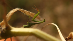Praying Mantis insect close up Stock Footage