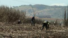 Sugarcane being cut Stock Footage