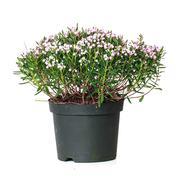 andromeda polifolia, bog rosemary - stock photo