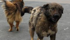 Romanian Stray Street Dogs Stock Footage