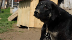 Farm Dog Stock Footage