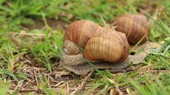 Burgundy snails (Helix pomatia) timelapse Stock Footage