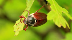 Cockchafer (Melolontha melolontha) eating Stock Footage