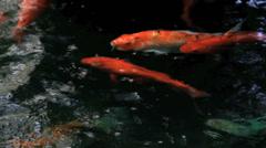 Koi Swim in Stream Stock Footage