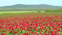 Beautiful Crimson clover flower field - stock footage