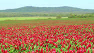 Stock Video Footage of Beautiful Crimson clover flower field