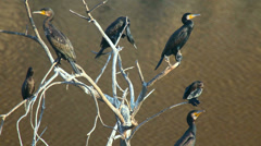 Black gannets sitting on the branches of a dried tree Stock Footage