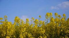 Yellow field rapeseed - stock footage