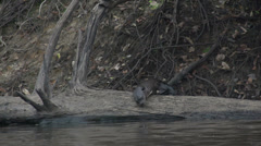 034 Pantanal, Giant otter (Pteronura brasiliensis) on a tree in water, slowmo Stock Footage