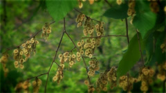 Ear-rings on a tree acacia, nature of East Ukraine. - stock footage