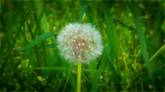 Dandelion on a background a green grass, nature of East Ukraine. Stock Footage