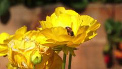 Pollinating Bee in Flower Stock Footage