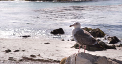 Seagull patrolling the beach while sitting on rock 4k Stock Footage