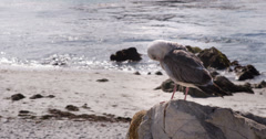 Seagull sitting on rock cleaning out feathers 4k Stock Footage
