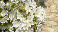 Scherry blossom with bee,locked down Stock Footage